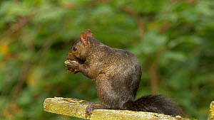 Melanistic Grey squirrel (Scirus carolinensis) feeding on cob nuts Bedfordshire, England, UK, September.  -  Brian Bevan