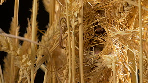 Close-up of a Harvest mouse (Micromys minutus) in nest amongst wheat stalks, demonstrating use of prehensile tail, Bedfordshire, England, UK. Captive.  -  Brian Bevan