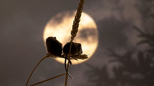 Close-up of two Harvest mice (Micromys minutus) on wheat, showing use of prehensile tail. Simulated moonlight. Captive, native to Eurasia.  -  Brian Bevan