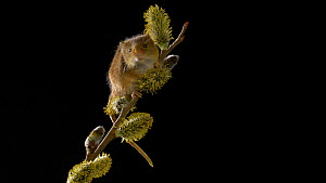 Close-up of a Harvest mouse (Micromys minutus) climbing on Willow (Salix). Captive. Native to Eurasia.  -  Brian Bevan