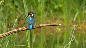 Male Kingfisher (Alcedo atthis) preening on perch, Bedfordshire, England, UK, April.  -  Brian Bevan