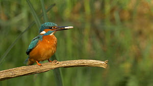 Close-up of a male Kingfisher (Alcedo atthis) with a fish, takes off with it, Bedfordshire, England, UK, April.  -  Brian Bevan