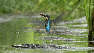 Female Kingfisher (Alcedo atthis) catching a fish, Bedfordshire, England, UK, July.  -  Brian Bevan