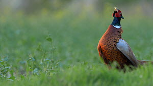 Male Common pheasant (Phasianus colchicum) displaying, Bedfordshire, England, UK, June.  -  Brian Bevan