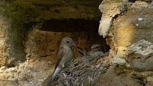 Pair of Spotted flycatchers (Muscicapa striata) feeding chicks at nest in a churchyard, Bedfordshire, England, UK, July.  -  Brian Bevan