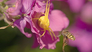 Close-up of a female Goldenrod spider (Misumena vatia) catching a hoverfly, on Annual honesty (Lunaria annua), Bristol, England, UK, April.  -  Michael Hutchinson