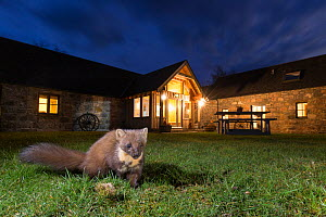 Pine marten (Martes martes) in garden in front of building at night, CairngormsNational Park, Scotland.  -  Peter Cairns