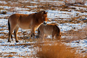 Przewalski's horse (Equus przewalskii) with foal, Kalamaili National Nature Reserve, Xinjiang, China. These individuals rounded up into a feeding enclosure during winter, for reasons of increased...  -  Staffan Widstrand / Wild Wonders of China