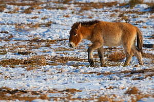 Przewalski's horse (Equus przewalskii) Kalamaili National Nature Reserve, Xinjiang, China. These individuals rounded up into a feeding enclosure during winter, for reasons of increased survival po...  -  Staffan Widstrand / Wild Wonders of China