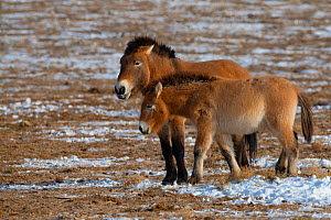 Przewalski's horse (Equus przewalskii) two standing together Kalamaili National Nature Reserve, Xinjiang, China. These individuals rounded up into a feeding enclosure during winter, for reasons of...  -  Staffan Widstrand / Wild Wonders of China