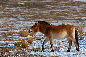 Przewalski's horse (Equus przewalskii), Kalamaili National Nature Reserve, Xinjiang, China. These individuals rounded up into a feeding enclosure during winter, for reasons of increased survival p...  -  Staffan Widstrand / Wild Wonders of China