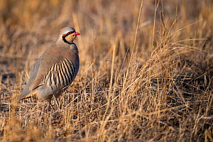 Chukar partridge (Alectoris chukar) Tien Shan mountains, Xinjiang, China  -  Staffan Widstrand / Wild Wonders of China