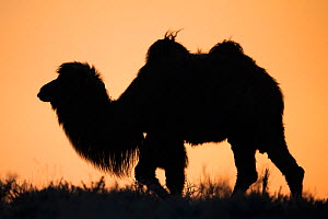 Bactrian camel (Camelus bactrianus) male silhouetted at sunset, living in the wild but owned by a camel herdsman, Kalamaili Nature Reserve, Xinjiang, China  -  Staffan Widstrand / Wild Wonders of China