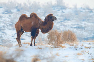 Bactrian camel (Camelus bactrianus) male living in the wild but owned by a camel herdsman, Kalamaili Nature Reserve, Xinjiang, China  -  Staffan Widstrand / Wild Wonders of China