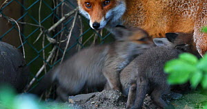 Red fox vixen (Vulpes vulpes) feeding her cubs at entrance to den in an allotment, London, England, UK, April.  -  Matthew Maran
