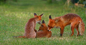 Red fox vixen (Vulpes vulpes) grooming and playing with her cubs in an allotment, London, England, UK, June.  -  Matthew Maran