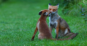 Male Red fox (Vulpes vulpes) interacting with cub in allotment, London, England, UK, June.  -  Matthew Maran