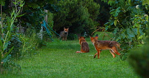 Red fox (Vulpes vulpes) family in an allotment, with rival male fox in background, London, England, UK, June.  -  Matthew Maran