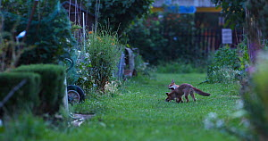 Red fox cubs (Vulpes vulpes) play fighting in an allotment, London, England, UK, June.  -  Matthew Maran