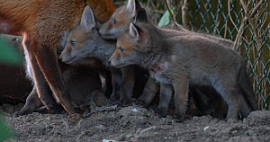 Close up of a Red fox vixen (Vulpes vulpes) grooming her five cubs at den entrance in an allotment, cubs begin to suckle, London, England, UK, April.  -  Matthew Maran