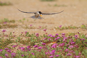 California least tern (Sternula antillarum browni) driving off a Killdeer (Charadrius vociferus) that has ventured too close to its nest site, Bolsa Chica Ecological Reserve, California, USA May.  -  John Chan