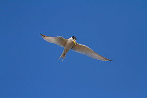 California least tern (Sternula antillarum browni) hovering while searching for prey, Bolsa Chica Ecological Reserve, California, USA June/2014  -  John Chan