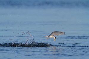 California least tern (Sternula antillarum browni) emerging from a dive with prey, Bolsa Chica Ecological Reserve, California, USA June/2016  -  John Chan
