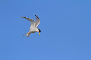 California least tern (Sternula antillarum browni) hovering while searching for prey, Bolsa Chica Ecological Reserve, California, USA June  -  John Chan