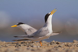 California least terns (Sternula antillarum browni) courtship behaviour, Bolsa Chica Ecological Reserve, California, USA June.  -  John Chan