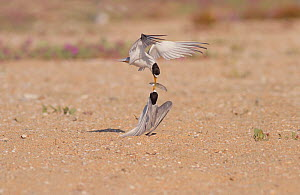 California least terns (Sternula antillarum browni) engage in food exchange during courtship, Bolsa Chica Ecological Reserve, California, USA July. Digitally expanded canvas.  -  John Chan