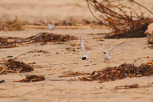 California least tern (Sternula antillarum browni)  stunned on the beach after being struck by a rival male during a mating attempt, Huntington Beach Least Tern Preserve, California, USA May.  -  John Chan