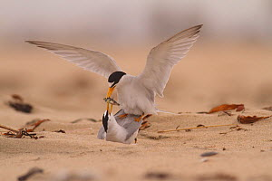 California least terns (Sternula antillarum browni) mating on the beach - male feeding female nuptial gift. Huntington Beach Least Tern Preserve, California, USA May  -  John Chan