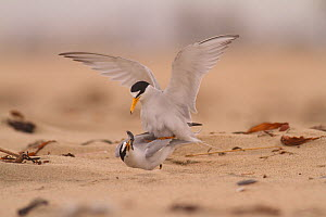 California least terns (Sternula antillarum browni) mating on the beach, female feeding on nuptial gift from male, Huntington Beach Least Tern Preserve, California, USA May  -  John Chan