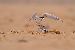 California least terns (Sternula antillarum browni) mating on the beach, male feeding female nuptial gift of fish, Huntington Beach Least Tern Preserve, California, USA May  -  John Chan