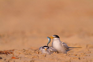 California least terns (Sternula antillarum browni) mating on the beach, with male holding nuptial gift of fish for female, Huntington Beach Least Tern Preserve, California, USA May  -  John Chan