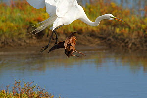 Ridgeway's rail (Rallus obsoletus levipes) attacks a Great egret (Ardea alba) that came too close to its chicks, Bolsa Chica Ecological Reserve, California, USA May,  -  John Chan