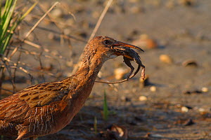 Ridgeway's rail (Rallus obsoletus levipes) feeds on a rodent, Bolsa Chica Ecological Reserve, California, USA May.  -  John Chan