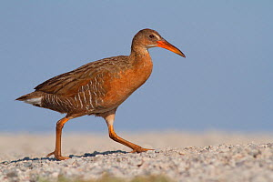 Ridgeway's rail (Rallus obsoletus levipes) crossing a path, Bolsa Chica Ecological Reserve, California, USA June.  -  John Chan