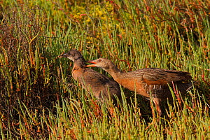 Ridgeway's rail (Rallus obsoletus levipes) showing aggression towards juvenile during weaning period, Bolsa Chica Ecological Reserve, California, USA June.  -  John Chan