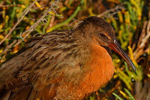 Ridgeway's rail (Rallus obsoletus levipes) roosting in pickleweed, Bolsa Chica Ecological Reserve, California, USA September/2014  -  John Chan