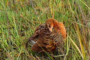Ridgeway's rail (Rallus obsoletus levipes) preening, Bolsa Chica Ecological Reserve, California, USA March.  -  John Chan