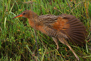 Ridgeway's rail (Rallus obsoletus levipes) stretching its wings, Bolsa Chica Ecological Reserve, California, USA March.  -  John Chan