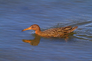 Ridgeway's rail (Rallus obsoletus levipes) swimming, Bolsa Chica Ecological Reserve, California, USA March.  -  John Chan