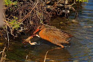 Ridgeway's rail (Rallus obsoletus levipes) feeding on a shore crab, Bolsa Chica Ecological Reserve, California, USA. March.  -  John Chan