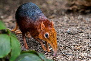 Black and rufous elephant shrew / sengi (Rhynchocyon petersi) looking for insects in the ground with long nose / proboscis. Captive  -  Philippe Clement