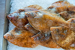Common dab fishes (Limanda limanda) on ice on display in fish shop / fish market  -  Philippe Clement