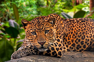 Javan leopard (Panthera pardus melas) resting on fallen tree trunk in tropical rainforest, native to the Indonesian island of Java. Captive. Digital composite  -  Philippe Clement