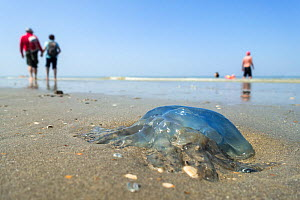 Barrel jellyfish / Dustbin-lid jellyfish (Rhizostoma pulmo) washed ashore on the beach along the North Sea coast in summer, Belgium, July  -  Philippe Clement