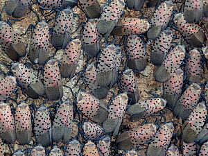 Spotted lanternfly (Lycorma delicata) group, Fort Washington State Park, Pennsylvania, USA, August.  -  Doug Wechsler