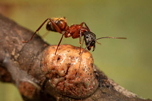 Ferruginous carpenter ant (Camponotus chromaiodes) getting honeydew from Tulip tree scale insect (Toumeyella liriodendri) Camp Woods Preserve, Pennsylvania, USA, August.  -  Doug Wechsler